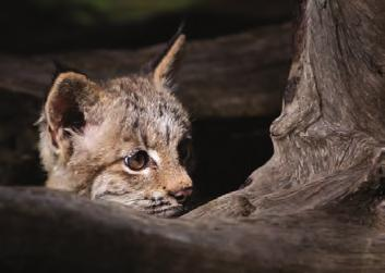 Many lynxes live in snowy areas, and their long legs and wide paws help them maneuver through their