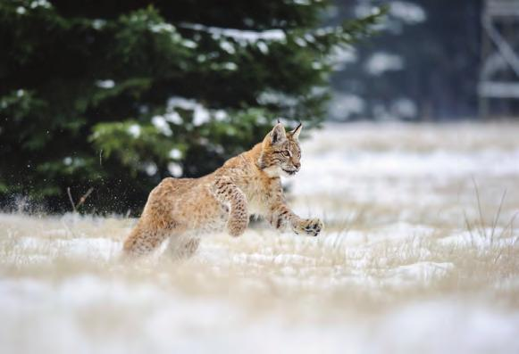Lynxes also have amazing eyesight, and their name is even thought to have come from a Greek word that