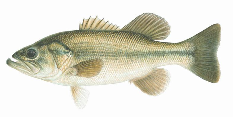 B. Subclass Actinopterygii Ray-finned fishes Have swim bladders - gas-filled sacs on the dorsal side to regulate buoyancy Chondrosteans Sturgeons and Paddlefish Teleosts Lead to modern bony fish C.