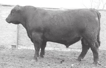 23 $32.36 30 5 One of the thickest bulls. Heaviest calf at weaning per inch of height. Dam had 100% AI record.