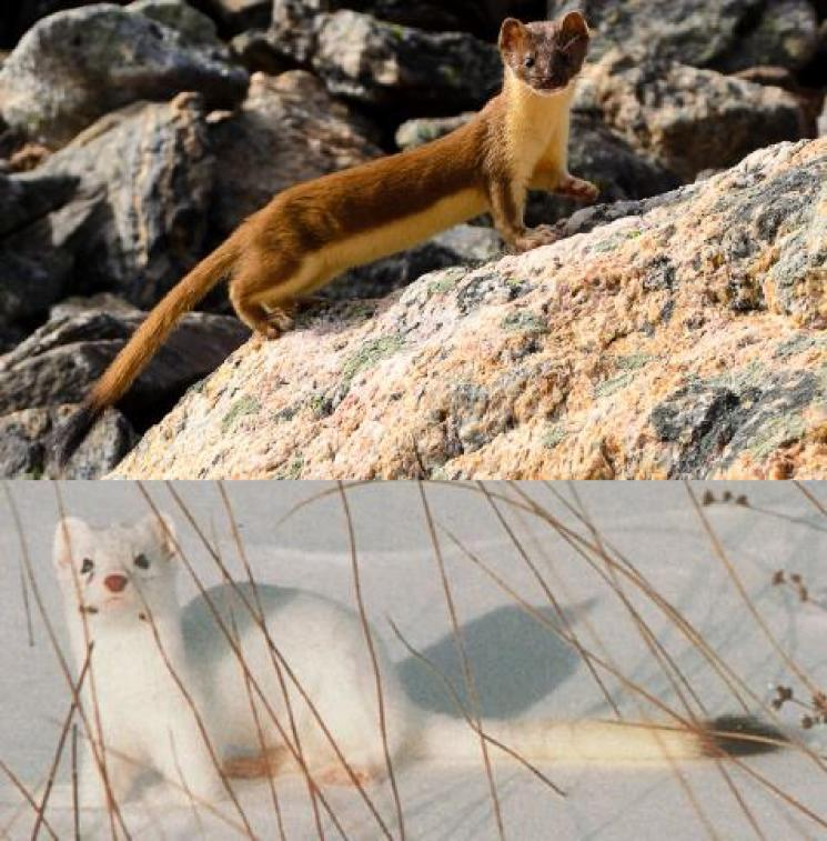 Long-tailed Weasel Mustela frenata Other common names None Introduction Like its cousin the short-tailed weasel, the long-tailed weasel develops a white coat in winter to aid with
