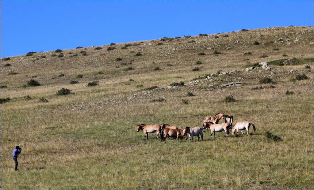 July 15 Bayangobi/Hustain Nuruu. After breakfast, drive to Hustain Nuruu (Pike Hustai) National Reserved area to have a view of Przewalski wild horses, recently reintroduced back into Mongolia(140km).