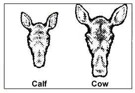 Yearlings, which are sometimes seen with older cows, are more independent.