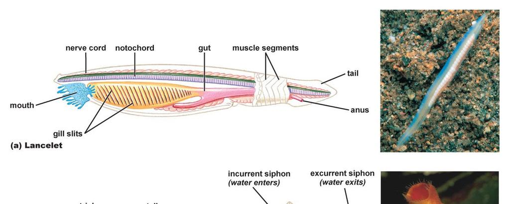 backbone that is found in vertebrates.