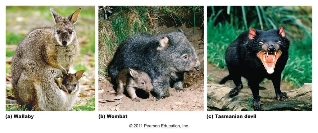 Photo from Yahoohoolicans website Koala Phascolarctos cinereus Eutherians (Placental Mammals) Compared to marsupials