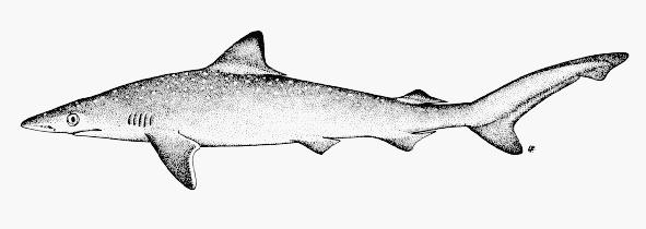 Small Coastal Sharks BLACKNOSE Black mark on tip of snout Yellow to greenish