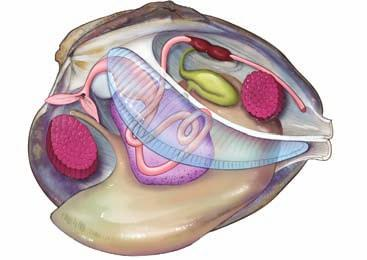 Circulation Mollusks have a well-developed circulatory system that includes a chambered heart.