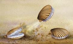 A scallop pulls its shells together, forcing jets of water toward the shell hinge. The force of the water pushes the scallop in the direction of the shell opening.
