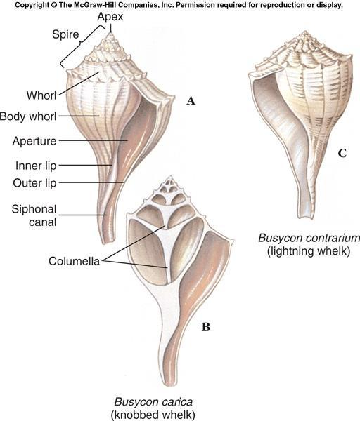 Class Gastropoda The shell of a gastropod is always one