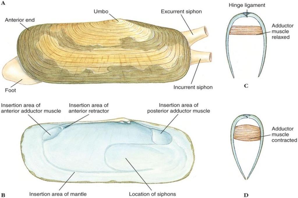 Class Bivalvia Shells are held together by a hinge ligament Adductor muscles open and close shell Shells have 3