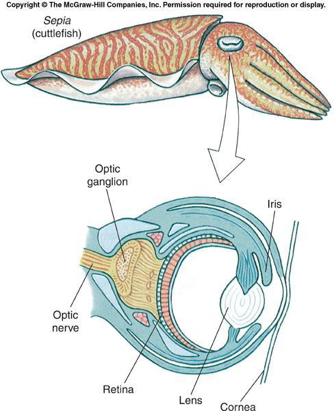 Class Cephalopoda Most cephalopods have complex eyes with cornea, lens, chambers, and retina.