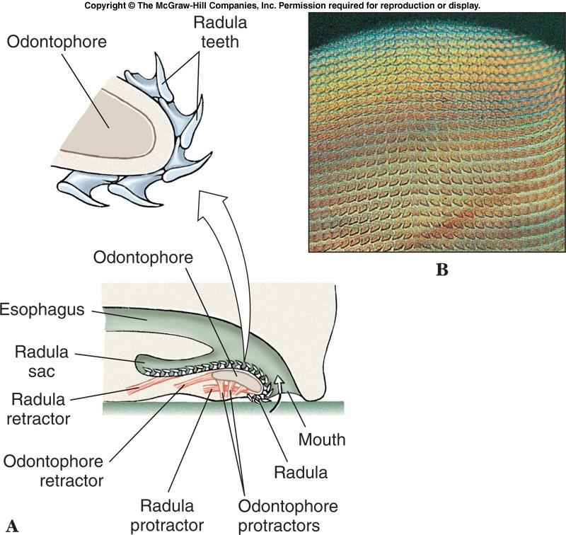 Head-Foot Region The radula is a rasping, tongue like feeding structure