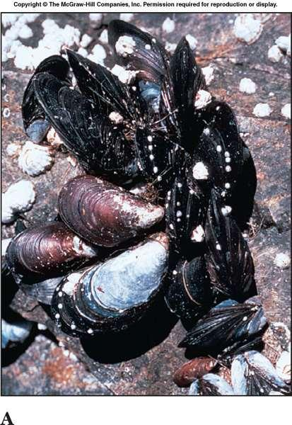 Class Bivalvia Bivalve mollusks have two shells (valves).