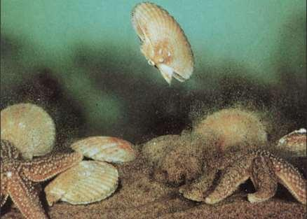 Class Bivalvia - Locomotion Bivalves move around by extending the muscular foot between the shells.