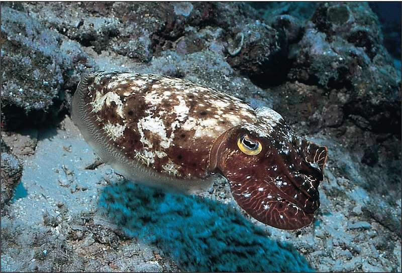 Class Cephalopoda - Shells Cuttlefish have a small curved shell,