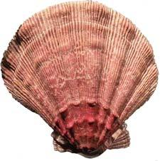 Seafood Watch Seafood Report Mexican Sea Scallops Nodipecten subnodosus (Image courtesy of Stephanie Dancer)