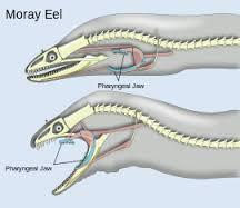 Eels live in eel pits. An eel pit is like a cave. They come out at night. Their home protects them. Family and Baby Eels Eels live in families. Some are small and some are big.
