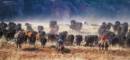 working cowboys, on a vast authentic cattle