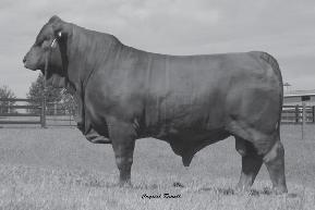 Ms Brinks Lead Time 468L Maternal Grand Dam of Lots 98-100 99 Southern Real Deal 468W39 SCC 99 12/19/2009 R10174556 Polled Gen: 5th PHN: 468W39 WR Duke 228/F TJM John Wayne 44L Miss TJM Transformer