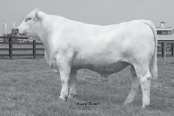 Southern Charolais Your choice for pounds on the ground! Southern Bravo Leader 183 2/19/2009 M782299 Polled Tattoo: 91564 WCR PRIME CUT 764 PLD LT RIO BLANCO 1234 P LT PRAIRIE MAID 4054.2 1.