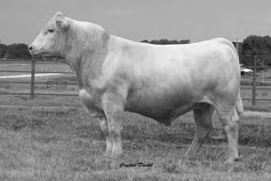 Southern Gulf Wind 91571 187 2/21/2009 EM782231 Polled Tattoo: 91571 SCHURRTOP 5627 LT WYOMING WIND 4020 LT CHAP S LADY 2170P 3.