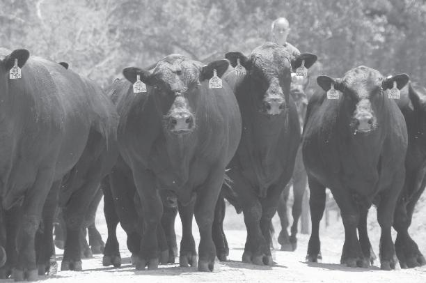 If you are wanting to purchase a bull or female private treaty or at one of our sales and are unable to come to the ranch in person, then contact someone in the Southern Cattle Company sales team.