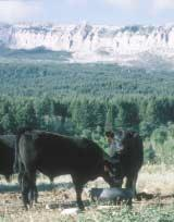 @Even though the cattle spend the summer and fall in rough wilderness, they are still expected to perform on grain. A few bulls are sent to Montana s Midland and Treasure test centers each year.