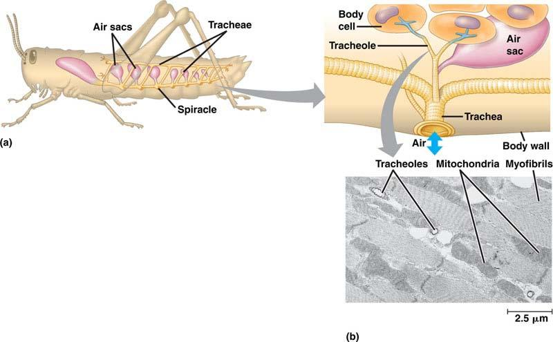 Terrestrial adaptations Tracheae air tubes branching throughout body gas exchanged by diffusion