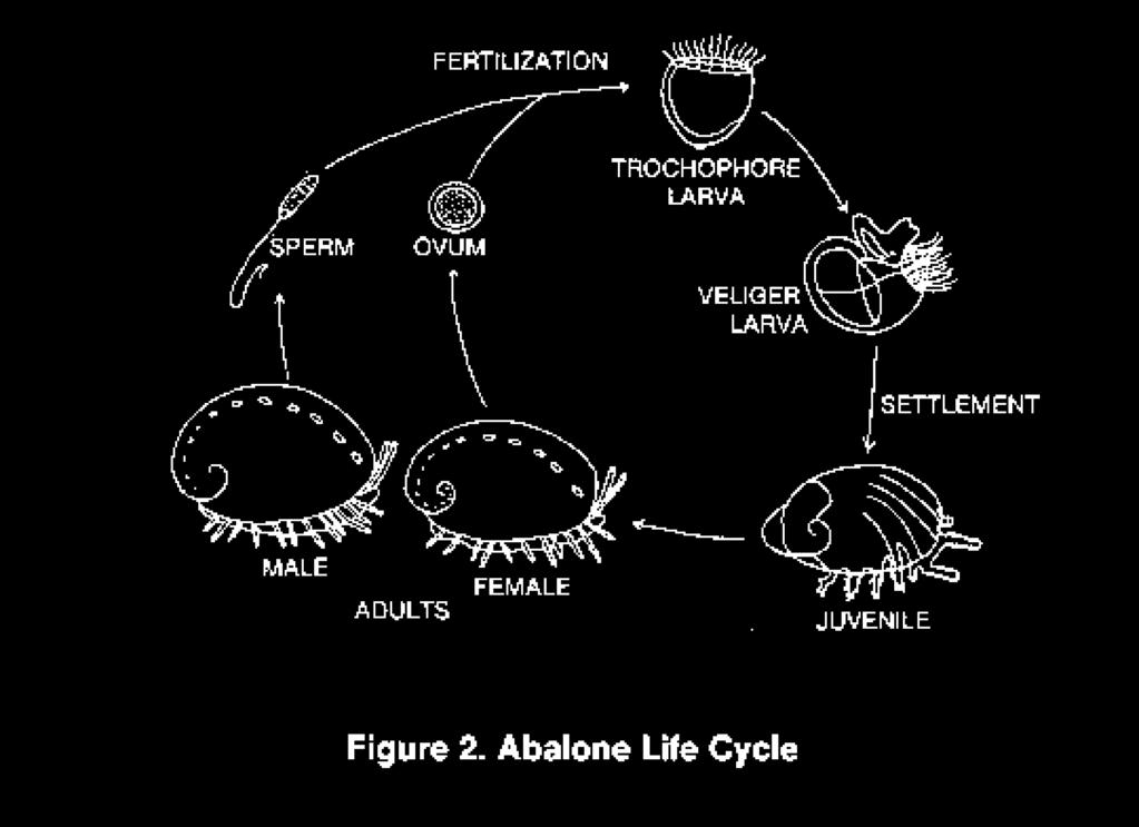 a) c) b) e) d) 23. The following questions refer to the figure above showing the abalone life cycle.