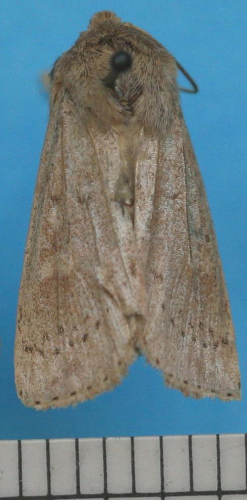 These moths fly only at night. Heavily beat-up specimens will be harder to identify. Males and females look identical.