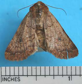 The Rosewing Sideridis rosea Harr. (photo right) June through mid July Front wing: light reddish brown, darker toward tips, with a dark spot near the middle. Hind wing: light colored.