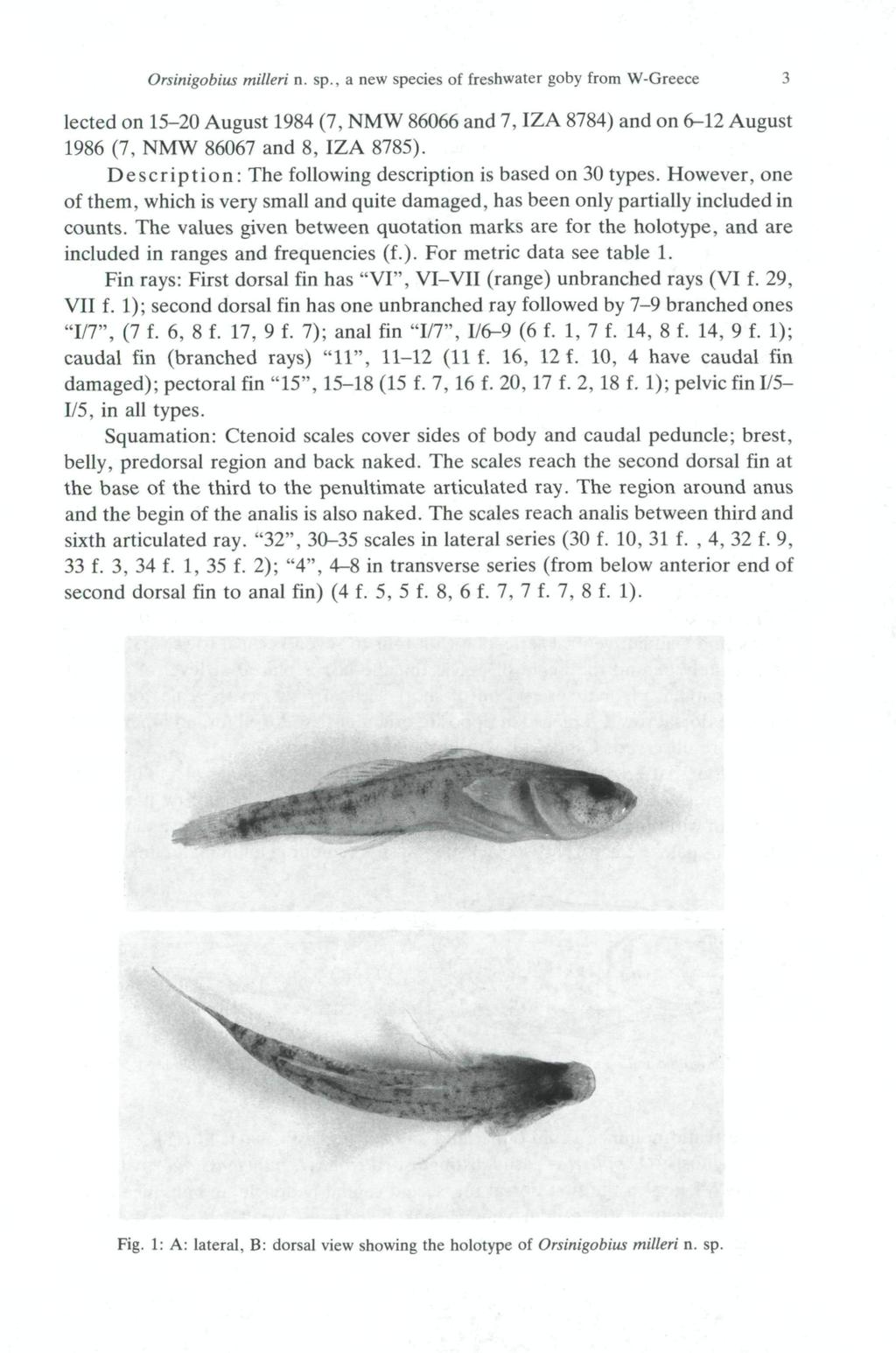 Orsinigobius milleri n. sp., a new species of freshwater goby from W-Greece 3 lected on 15-20 August 1984 (7, NMW 86066 and 7, IZA 8784) and on 6-12 August 1986 (7, NMW 86067 and 8, IZA 8785).
