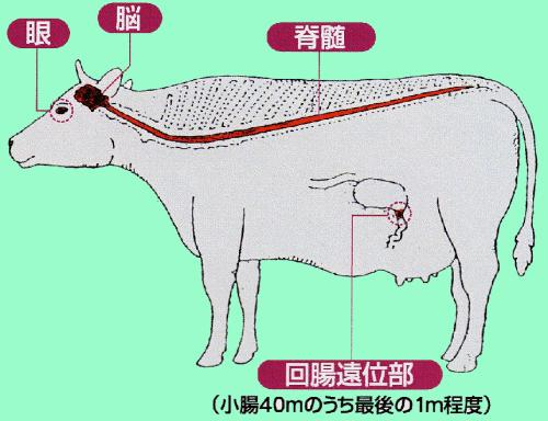 Which tissues are infectious in BSE- cattle?