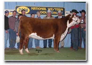 They are full brothers to the lead off bull in our 2012 Grand Champion Pen of Three in Denver that sold for $28,000 in last years sale to Chris Frans in OK.