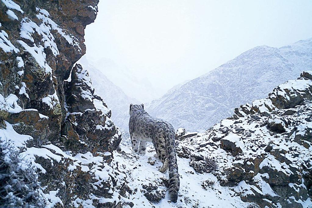 21 October 2016 Hundreds of endangered wild snow leopards are killed each year Poachers aren t the main problem