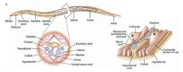 ANATOMY -A Nematode is a long hollow tube within which is another tube, the alimentary canal and the reproductive organs.