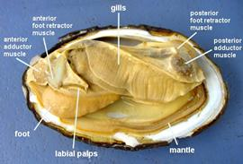 Class Bivalvia Feeding: Bivalves don't have radula and are filter feeders. They mostly eat plankton and use their gills to separate their water and food.