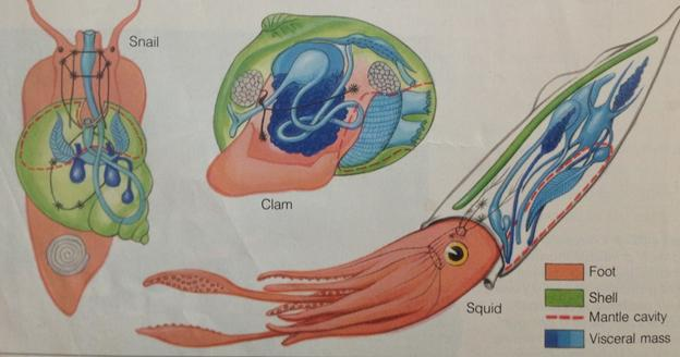 Basic body parts of Mollusks Foot: May be used for movement, food capture or attachment Visceral mass: carries the digestive organ,