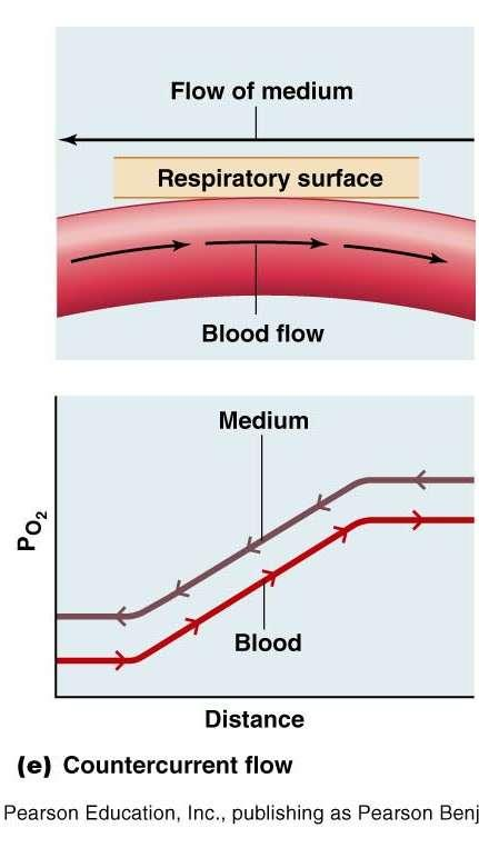 Countercurrent Flow PO 2 of blood leaving the gas