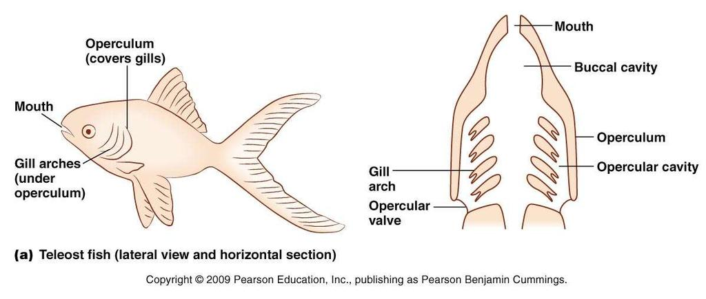 Teleost (Bony) Fish Gills are located in