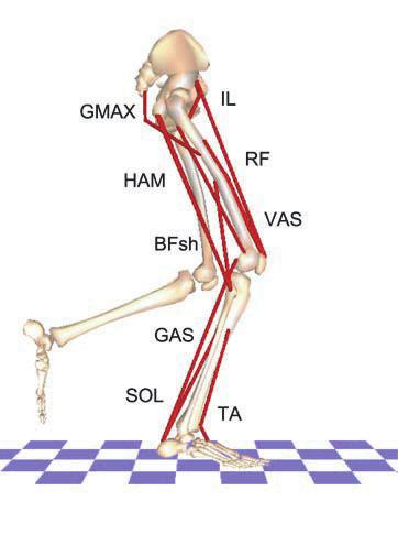 Plantar flexor force production in gait 8 previously described musculoskeletal modeling and dynamic optimization framework (e.g. Neptune et al.