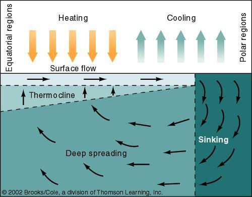 Thermohaline Circulation A model of thermohaline circulation caused by water becoming heated near the equator and cooling