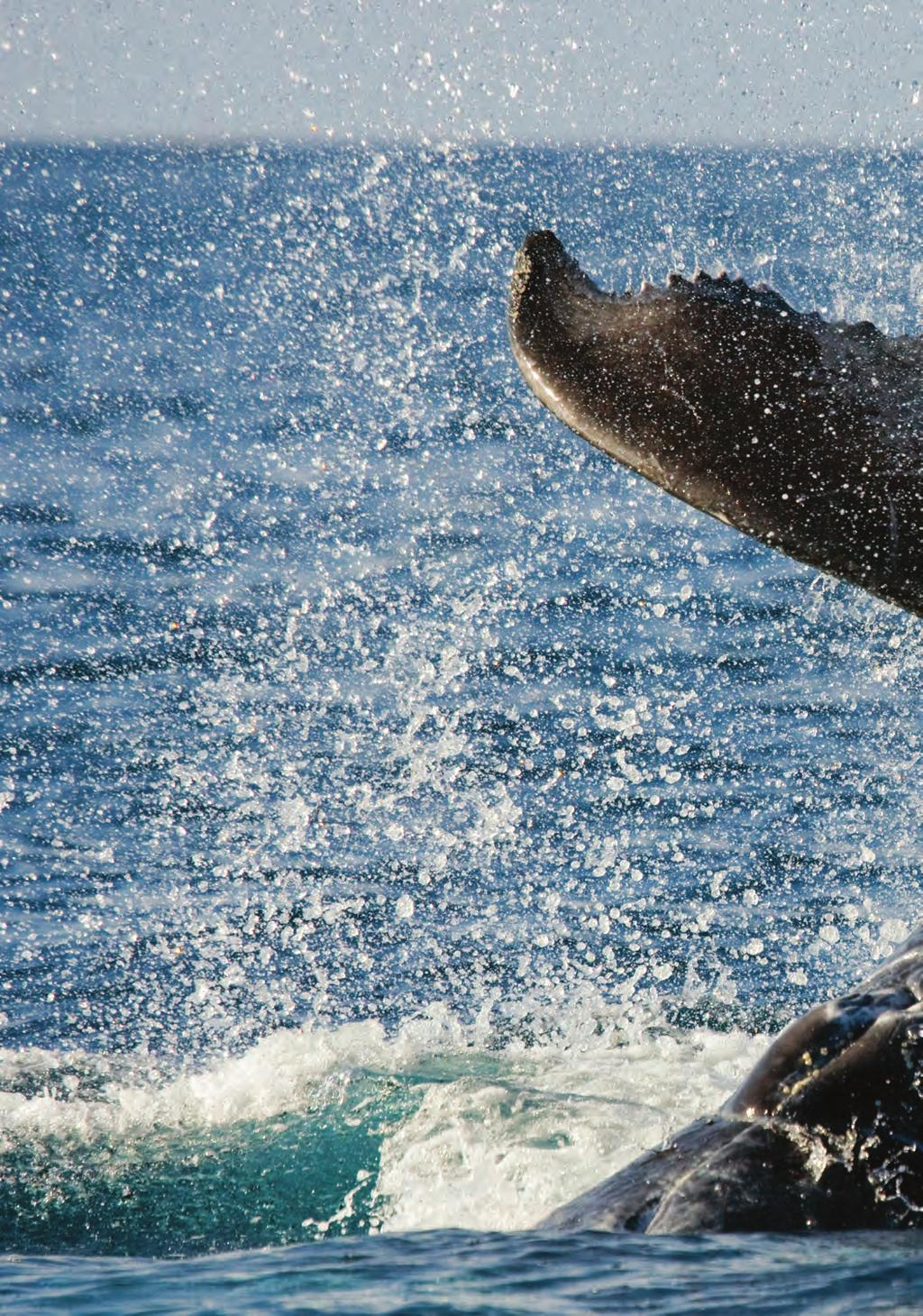 Dana Point is fortunate to have whales year-round, and the highest concentration of endangered Blue