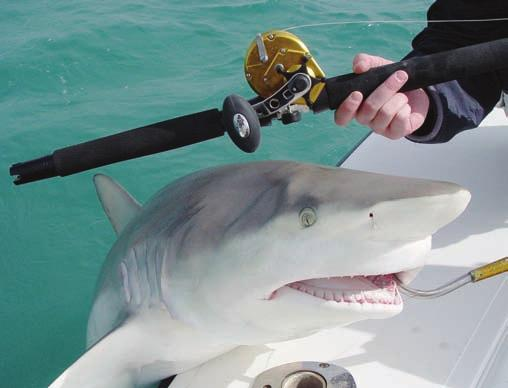 The first fish caught on the new Penn Torque, a 100-plus lb Spinner Shark caught off the coast of