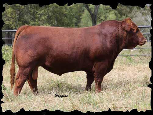 Footnotes: Full sib to Butlers Red Oak 908W. Potential herd sire prospect that is big footed and packed with thickness. We hate to sell this bull since Red Oak 908W is no longer with us.