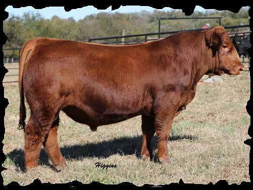 If you are looking to add red genetics DO NOT overlook these red bulls in this sale. Retaining 1/2 semen interest.