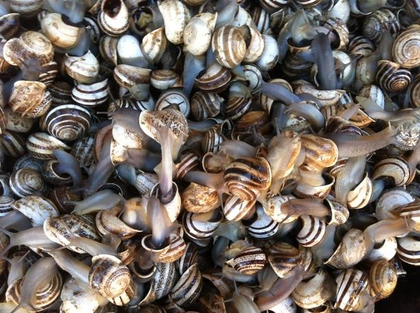 Live Snails For Sale, Marrakesh As well as being able to buy escargot in Marrakesh, you can also buy the raw product. Live snails.