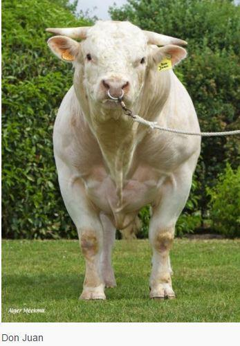 code~ CH 4110 Breed 100% Charolaise Date of birth 02/12/2008 Straw colour Red Calving ease~ Easy Elite Don Juan originates from the