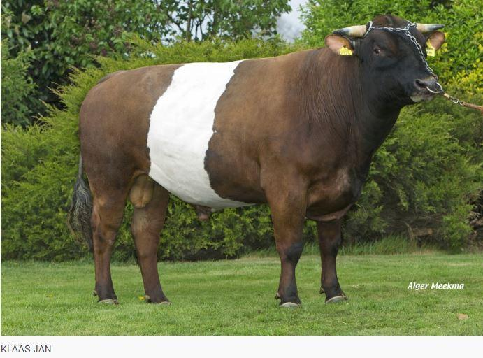 Blankvoort KLAAS-JAN is a pedigree Lakenvelder bull that has qualities for grass beef production.