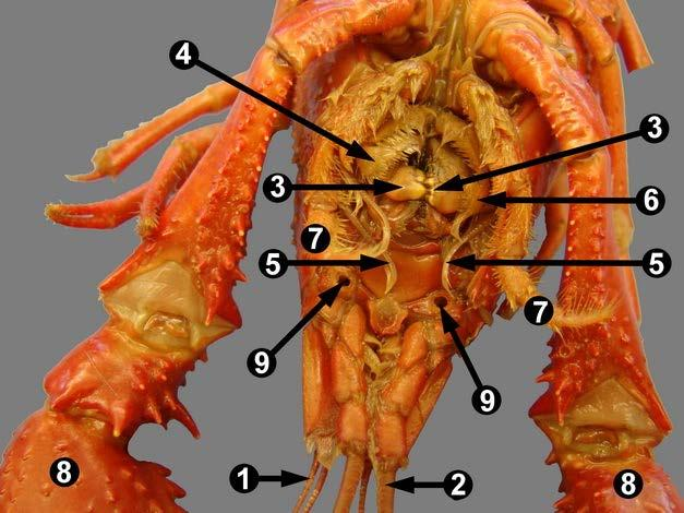 Mouth parts Appendages Mouth parts The third pair of appendages are the mandibles (jaws). A mandible (no.